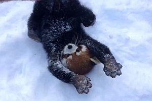 Rote Pandas spielen im Schnee