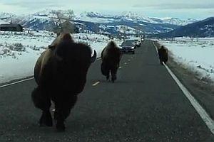 Unfall mit einem wilden Büffel
