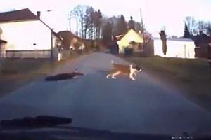 Hund zieht Jungen über die Straße