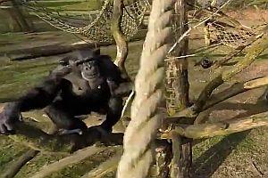 Drohne überfliegt Schimpansengehege