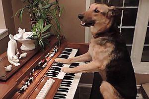 Schäferhund spielt Klavier