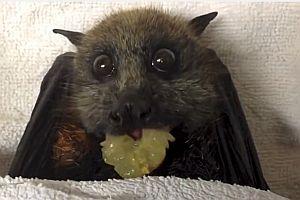 Fledermaus frisst eine Weintraube