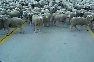 Fahrt durch eine riesige Schafsherde