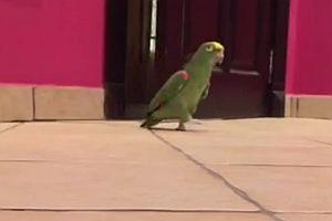 Papagei mit fieser Lache