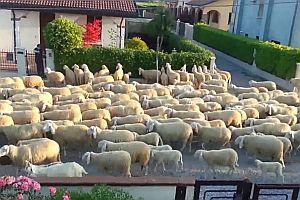 Schafe machen Pause an einer Hecke