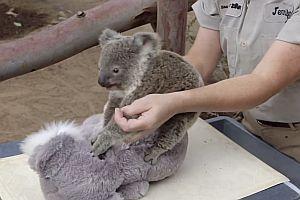 Wie wiegt man einen Koala?