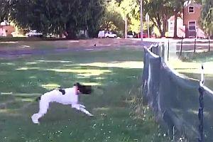 Hund springt über einen Zaun