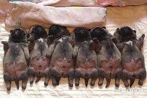 6 Welpen schlafen in einer Reihe