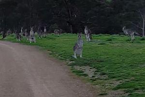Fahrt durch eine Horde Kängurus