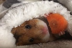 Hamster frisst eine Karotte