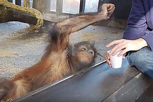 Zaubertrick für einen Affen