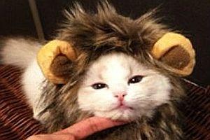 Katze als Löwen verkleiden
