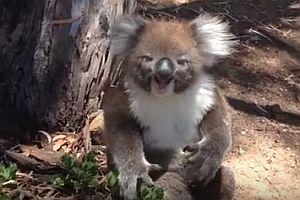 Trauriger Koalabär