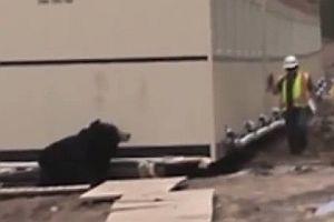 Bär erschreckt einen Bauarbeiter