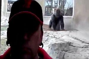 Aggressiver Gorilla im Zoo