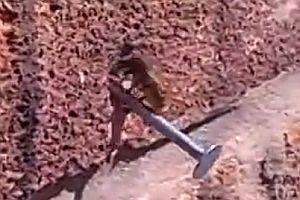 Biene zieht Nagel aus der Wand