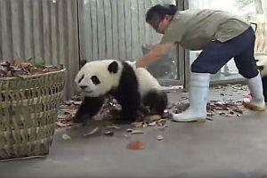 Pandahaus reinigen mit Hindernissen