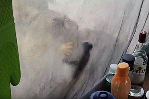 Löwe leckt Wasser vom Zelt