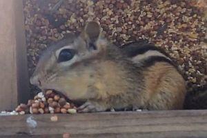 Eichhörnchen mit dicken Backen