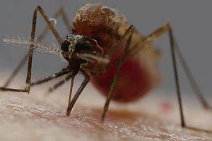 So stechen Mücken