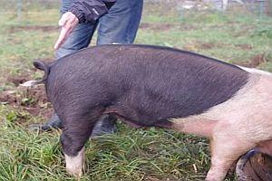 Schweineschwanz begradigen
