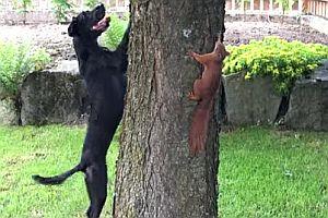 Eichhörnchen narrt einen Hund