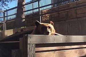 Ein Bär in einer Mülltonne