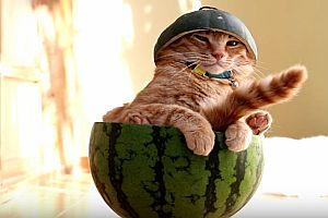 Katze in einer Wassermelone