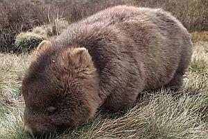 Ein Wombat am Fressen