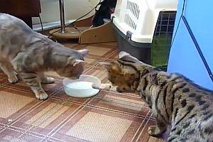 Zwei Katzen streiten sich um Milchschale