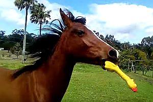 Pferd spielt mit Gummihuhn