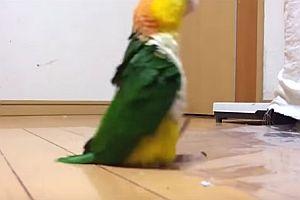 Ein Papagei marschiert