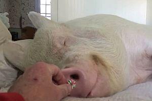 Schlafendes Schwein frisst ein Bonbon