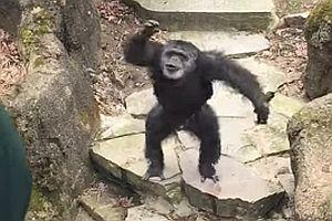 Affe schmeißt mit Kot nach Oma