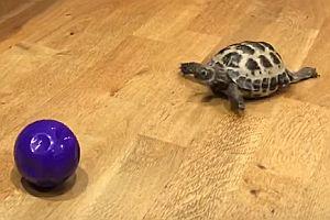 Schildkröte spielt Ball