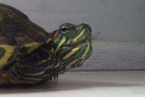 Eine niesende Schildkröte