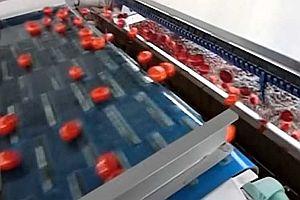 Eine Tomaten-Sortiermaschine