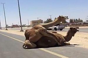 Kamele machen Liebe auf der Straße