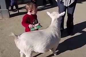 Junge erschreckt sich vor Ziegen-Furz