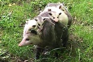 Opossum macht einen Ausflug