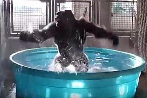 Gorilla tanzt im Wasser