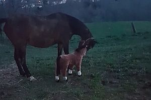 Pferd begrüßt Fohlenattrappe