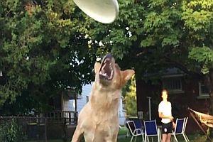 Hund versucht eine Frisbee zu fangen