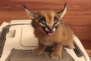 Geräusch einer jungen Wildkatze