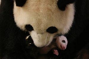 Der erste Lebensmonat eines Pandas