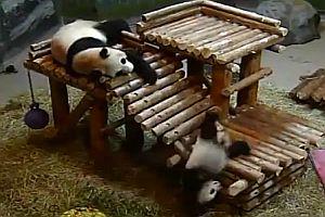 Panda-Abstürze am Fließband