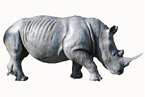 Lebensgroßes Nashorn