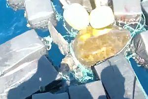 Meeresschildkröte hängt in 816 kg Kokain