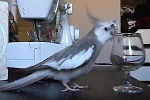 Vogel wirft gerne Gegenstände von Tischen