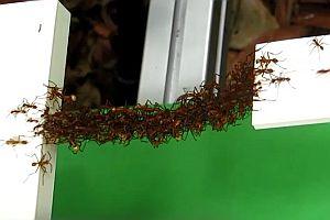 Eine Brücke aus Ameisen
